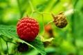 Картинка малина, зеленая, спелая, raspberry