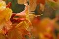 Картинка капли, макро, цветы, оранжевый, цветение