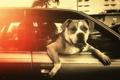 Картинка машина, взгляд, собака, пес