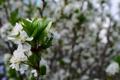 Картинка природа, вишня, макро, цветы
