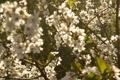 Картинка вишня, май, дача