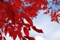 Картинка белый, листья, красный, ветка