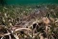 Картинка Cuba, American Crocodile, Jardines de la Reina