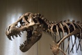 Картинка head, museum, shows, dinosaur, scavenger, carnivore, petrified bones