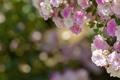 Картинка белые, розы, бутоны, розовые, боке, цветы