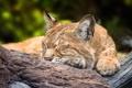 Картинка отдых, сон, спящая рысь