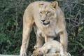 Картинка кошки, детёныш, котёнок, львы, львица, львёнок, ©Tambako The Jaguar