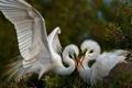 Картинка природа, белые, крылья, птицы, две