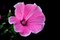 Картинка капли, цветок, растение, лепестки, роса