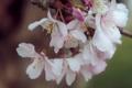 Картинка макро, цветы, ветка, весна, лепестки, светлые, сакура