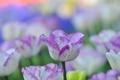 Картинка сад, тюльпан, природа, лепестки, макро, плантация