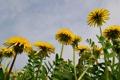 Картинка природа, одуванчики, цветы