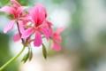 Картинка розовая, цветочки, бутоны, герань, соцветие