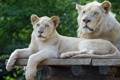 Картинка кошки, пара, детёныш, львёнок, белый лев, ©Tambako The Jaguar