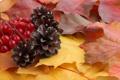 Картинка осень, листья, желтые, шишки, рябина