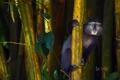 Картинка Африка, Кения, Kakamega Forest Reserve, синяя обезьяна