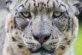 Картинка кошка, глаза, взгляд, морда, ирбис, снежный барс, ©Tambako The Jaguar