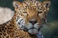 Картинка усы, морда, хищник, ягуар, большая кошка