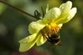 Картинка цветок, макро, насекомое, шмель, георгина