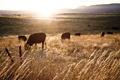 Картинка поле, пейзаж, закат, забор, коровы