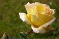 Картинка роза, бутон, жёлтая роза