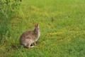 Картинка зелень, трава, заяц, русак