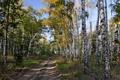 Картинка дорога, лес, берёзы