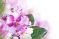 Картинка цветы, листики, фиалки