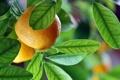 Картинка leaves, fruits, апельсины, oranges, фрукты, макро