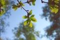 Картинка листья, зеленые, небо, дерево