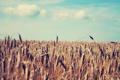 Картинка пшеница, поле, лето, небо, природа, колосья