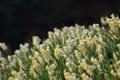 Картинка цветы, весна, полянка, цветение, нарциссы