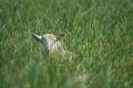 Картинка трава, морда, луг, уши, овца