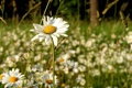 Картинка лето, трава, солнце, цветы, природа, фон, обои