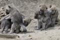 Картинка игра, волки, малыши, волчата