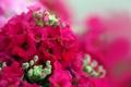 Картинка цветы, яркие, бутоны, малиновые, герань
