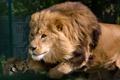 Картинка кошка, животное, лев