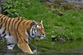 Картинка кошка, трава, взгляд, тигр, водоём, амурский