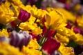 Картинка макро, цветы, фото, желтые, тюльпаны, бардовые