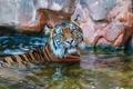 Картинка морда, тигр, хищник, купание, дикая кошка