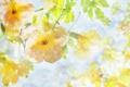 Картинка цветы, желтые, светлые, капли воды