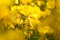 Картинка желтые, цветы, лето, природа, боке