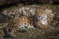 Картинка лежит, дикая кошка, отдых, хищник, ягуар