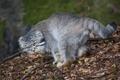 Картинка кот, взгляд, листья, ветки, природа, хищник, Манул