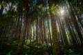Картинка лучи, деревья, Лес
