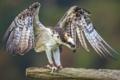 Картинка птица, крылья, хищник, клюв, скопа