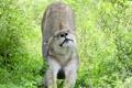 Картинка львица, дикая кошка, потягушки