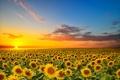 Картинка поле, подсолнухи, цветы, цветение, field, flowers, sunflowers