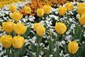Картинка цветок, цвета, цветы, природа, тюльпан, весна, тюльпаны