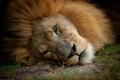 Картинка кошка, взгляд, морда, лев